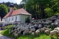 Gottesdienst Schafe